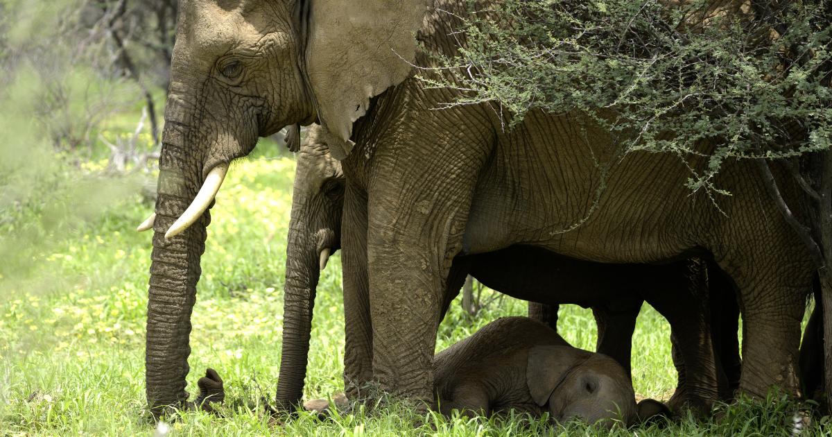 un cucciolo di elefante si riposa tra le zampe della mamma - nerdface