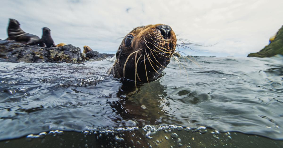 il musetto di un cucciolo di foca emerge dall'acqua - nerdface